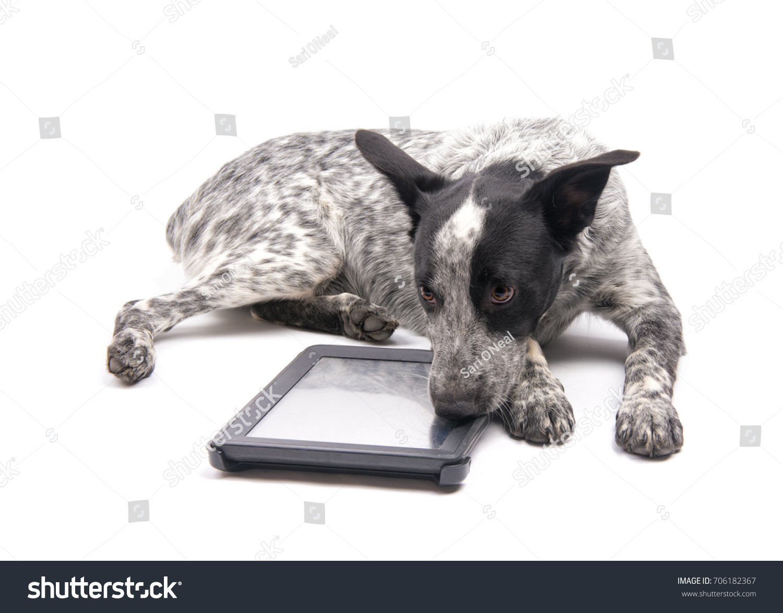 stock-photo-spotted-texas-heeler-dog-lyi