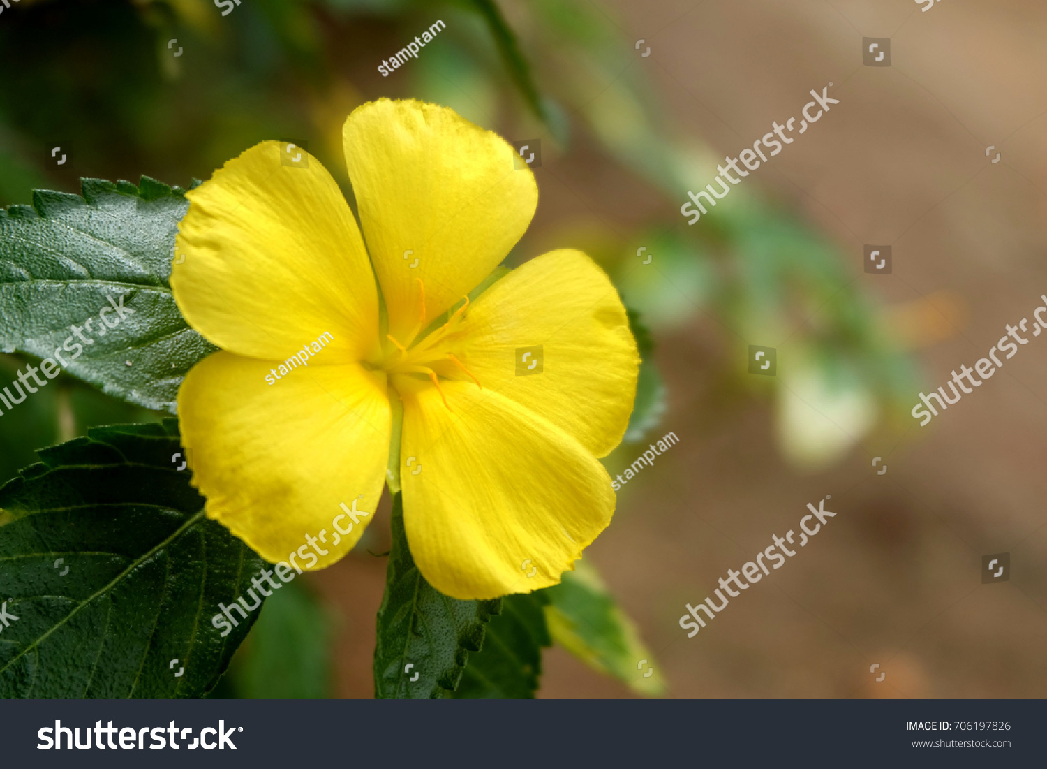 Yellow Flowers Of Tribulus Terrestris Plant Ez Canvas