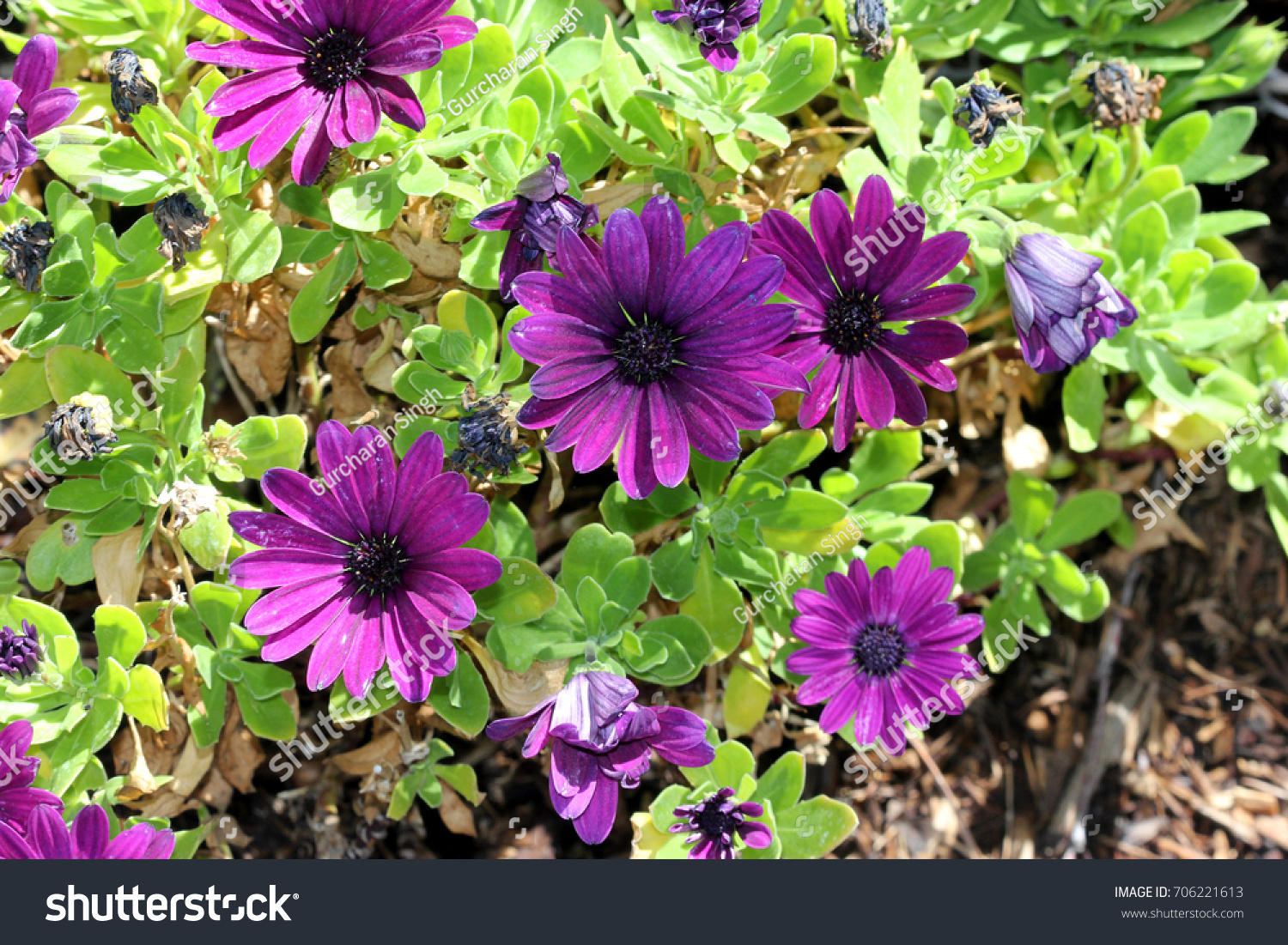 Osteospermum Ecklonis Asti Purple Subshrub Rigid Stock Photo Edit