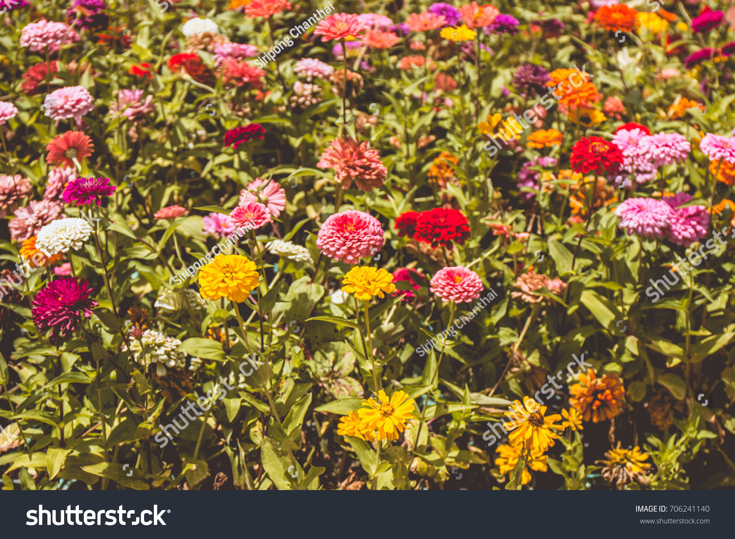 Large potted chrysanthemums form a beautiful bright carpet of fall ...