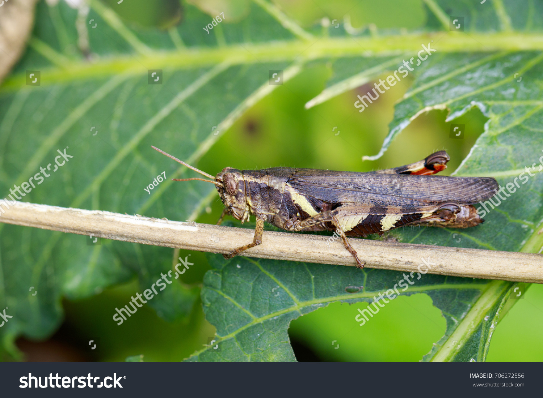 Image Rufouslegged Grasshopper Xenocatantops Humilis On Foto de ...