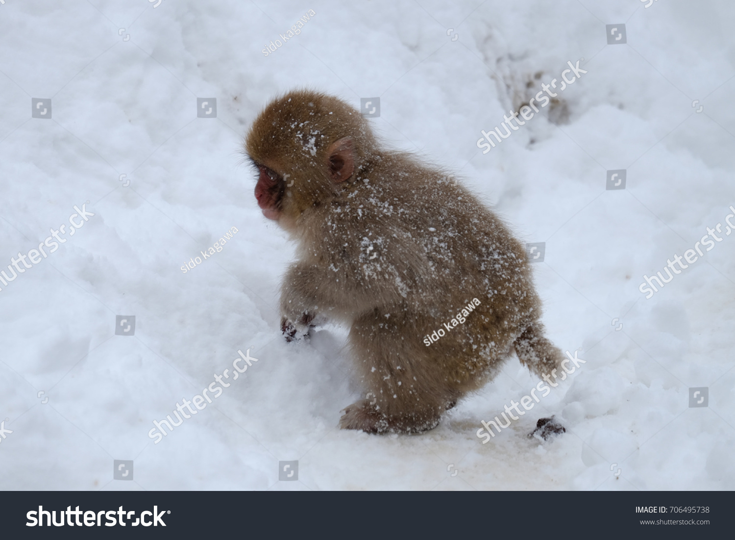 Japanese monkey Shot at JIGOKUDANI Wildlife Park in Nagano Prefecture #706495738