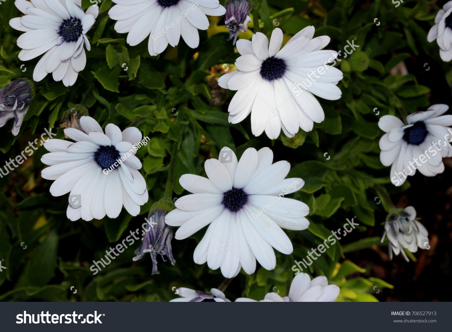 Osteospermum Ecklonis Akila White Purple Eye Stock Photo Royalty
