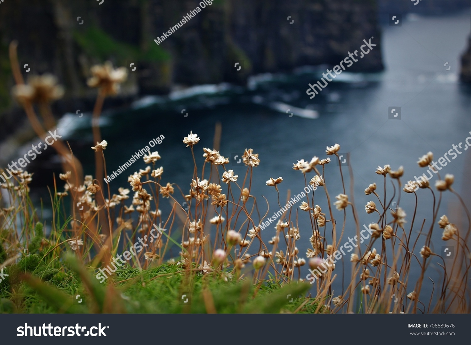 Flowers On Cliffs Moher Ireland Active Stock Photo Edit Now