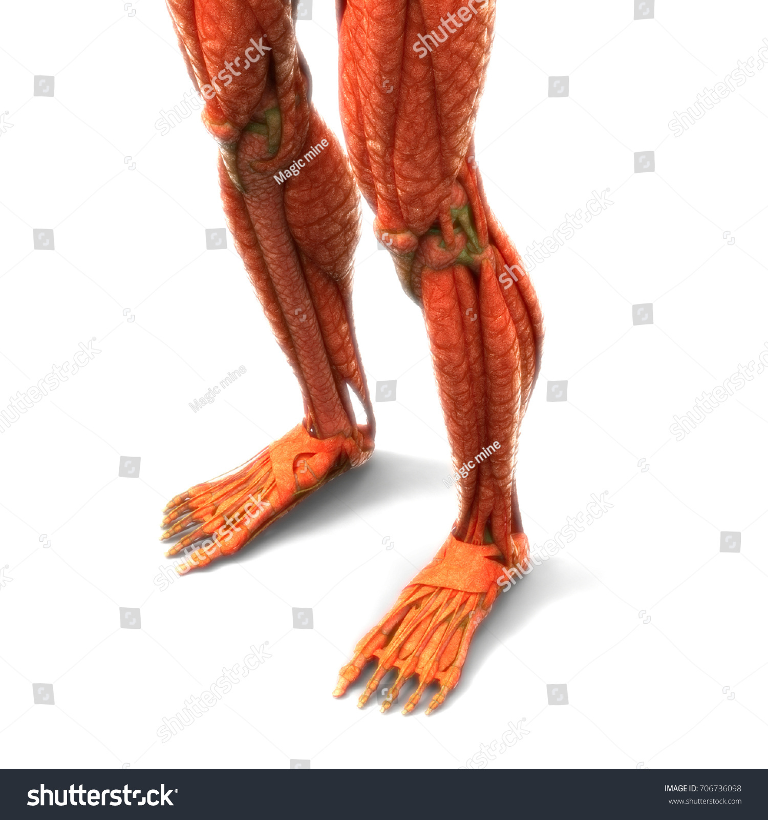 Human Body Muscles Anatomy Legs 3 D Stock Illustration 706736098