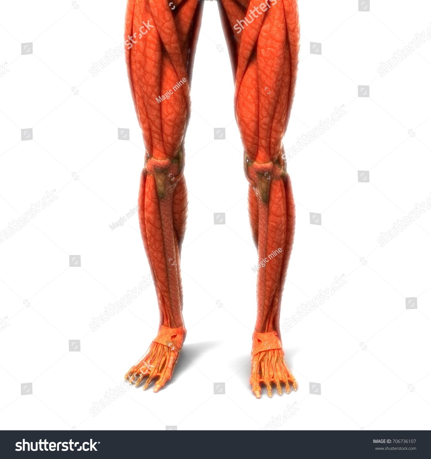 Human Body Muscles Anatomy Legs 3 D Stock Illustration 706736107