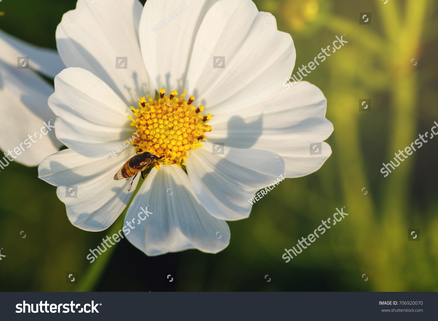 Background White Cosmos Flowers Bee Summer Stock Photo Edit Now