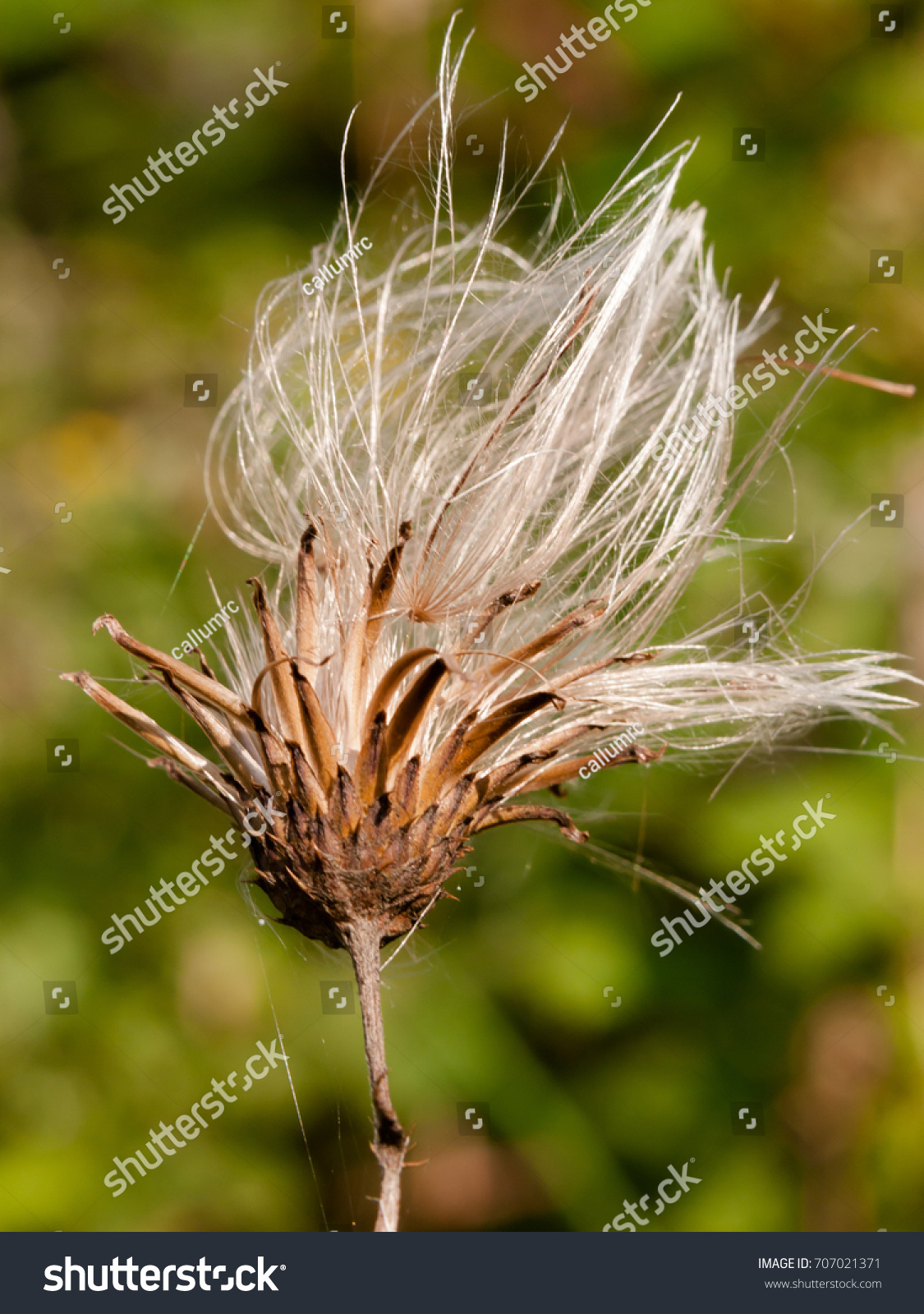 Milk Thistle White Flower Head Strands Stock Photo Royalty Free