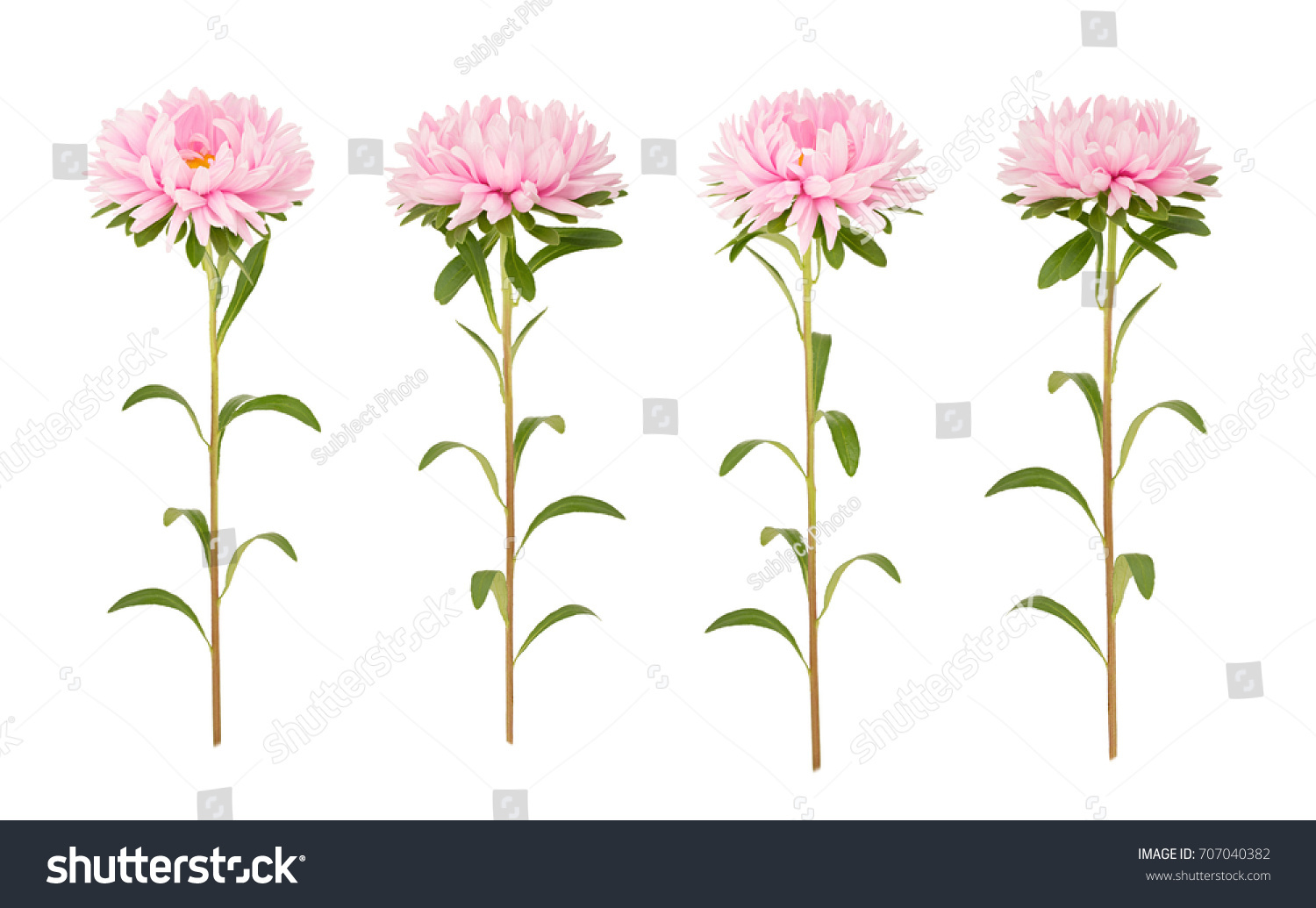 Pink Aster Flower Isolated On A White Ez Canvas