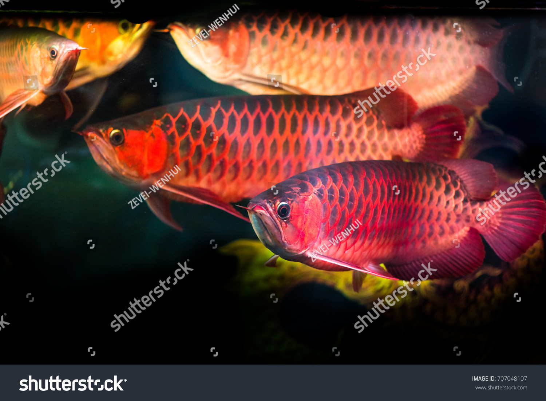 Golden Arowana Aquarium Stock Photo (Download Now) 707048107 ...