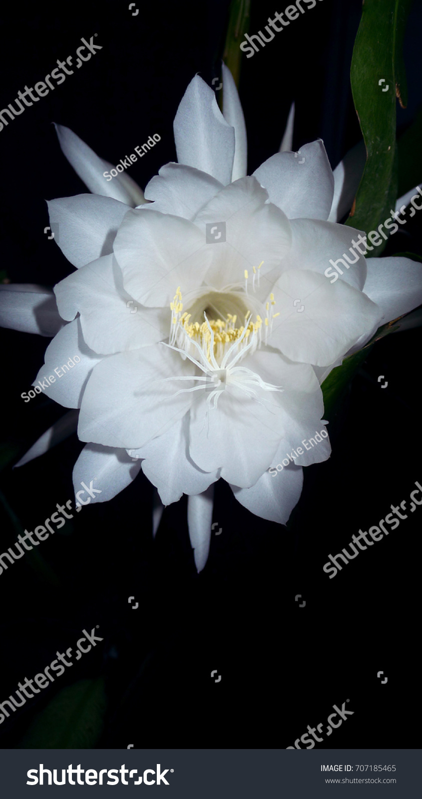 Night Blooming Flower Cacti Cactus Huge Stock Photo Edit Now