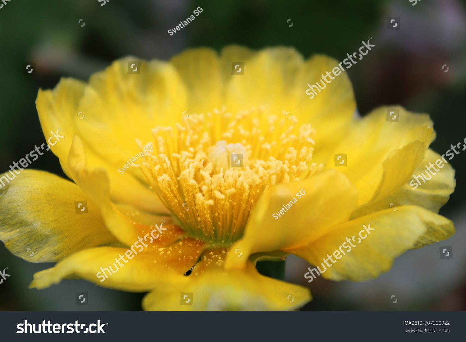Opuntia Dillenii Blooming Yellow Flower On Stock Photo Edit Now