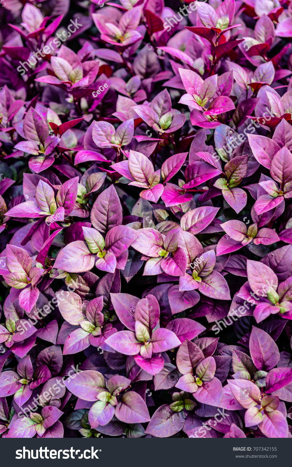 Barberry bush with its purple leaves is a very popular ornamental barberry bush with its purple leaves is a very popular ornamental plant often used as boundary hedges this image was captured late afternoon during summer mightylinksfo