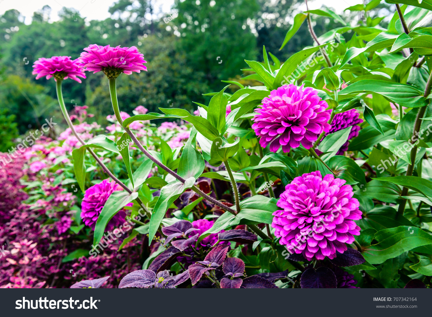 Purple Zinnia Flowers Full Bloom During Stock Photo Edit Now