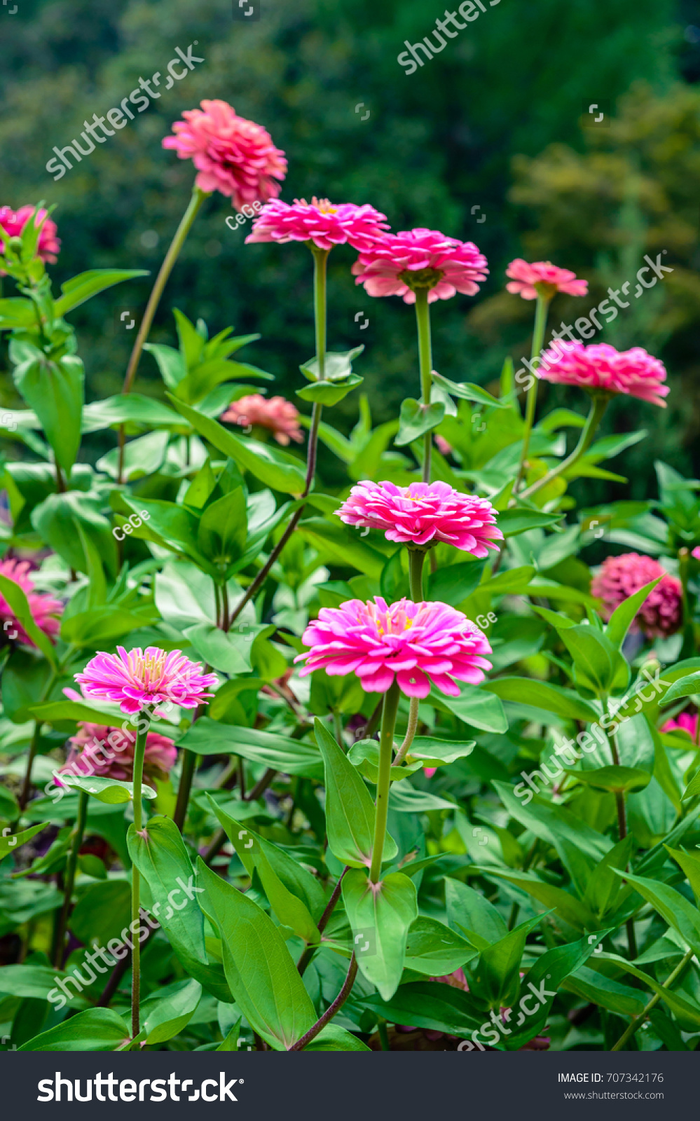 Zinnia Elegans Flowers In The Park At Thailand Ez Canvas