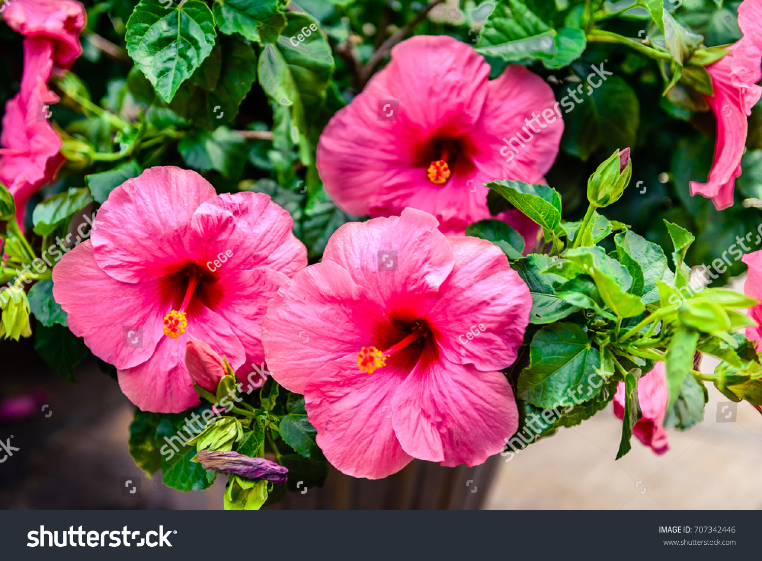 Hibiscus flower commonly called gumamela asian stock photo edit now hibiscus flower commonly called gumamela in asian countries is famous for its wide petals in various izmirmasajfo