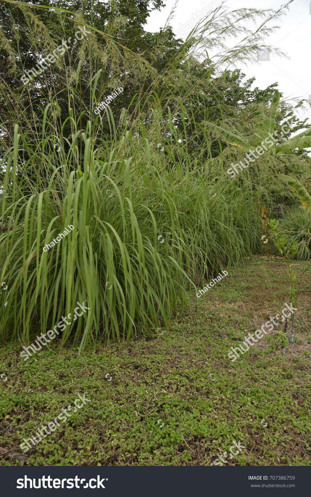 Citronella Grasssarah Grasscymbopogon Nardus Rendle Stock Photo