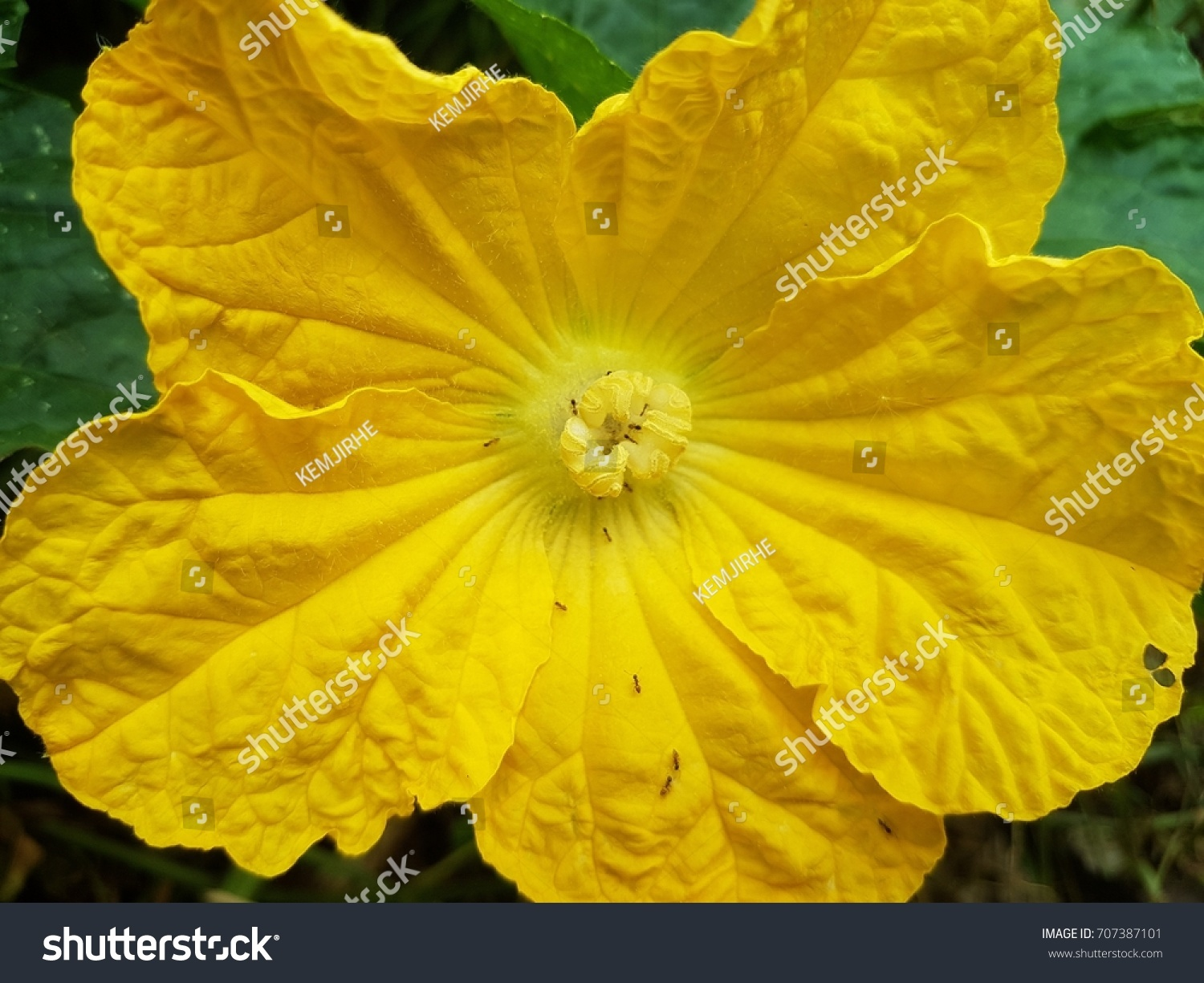 Yellow Flowers Either Ornamental Fruit Trees Stock Photo Edit Now