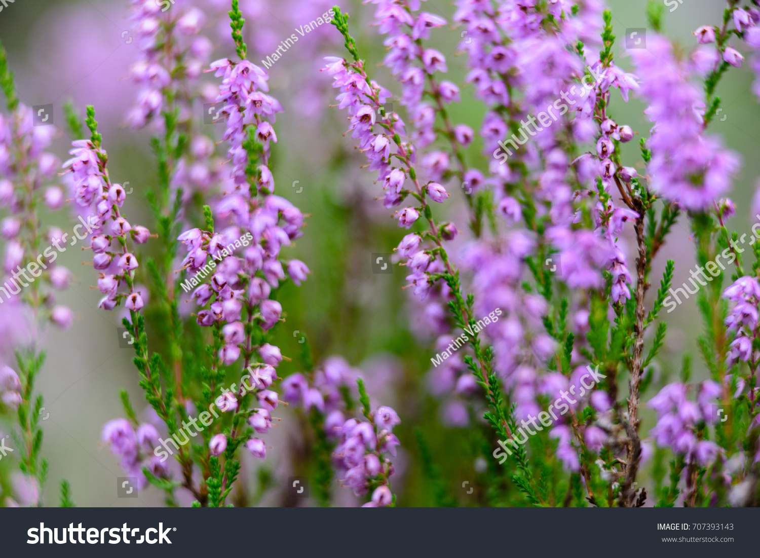 Forest Heather Flowers Blossoms Spring Blooming Stock Photo Edit
