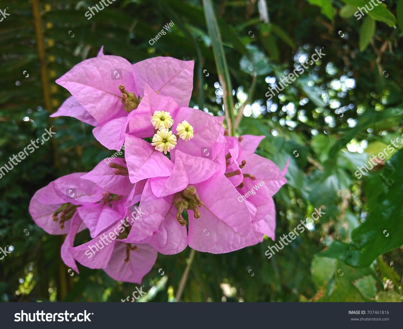 Bougainvillea mrs eva flowers paper flowers stock photo edit now bougainvillea mrs eva flowers paper flowers are tubular creamy white and mightylinksfo