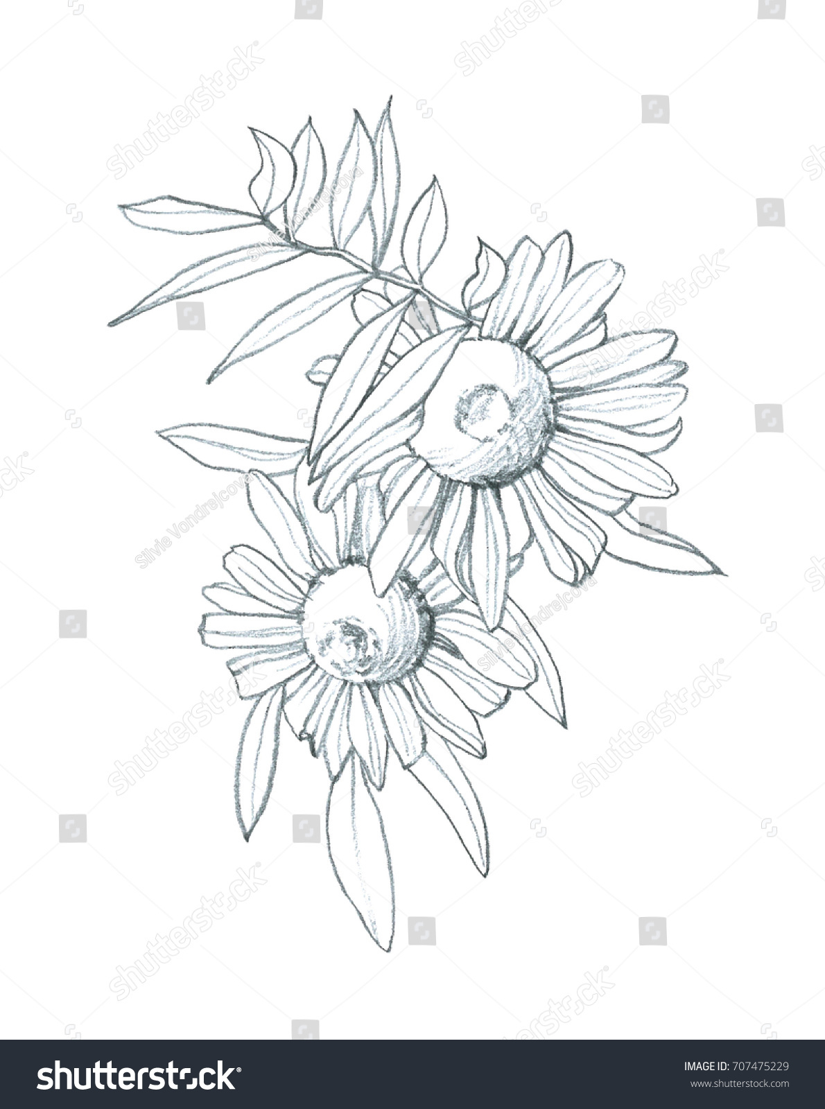 Daisy Flower Hand Pencil Drawing Ez Canvas