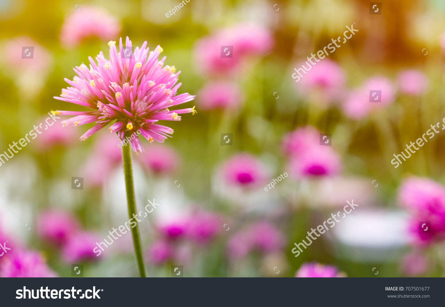 Close Up Of Gomphrena Globosa Or Fireworks Flower A Beautiful Pink