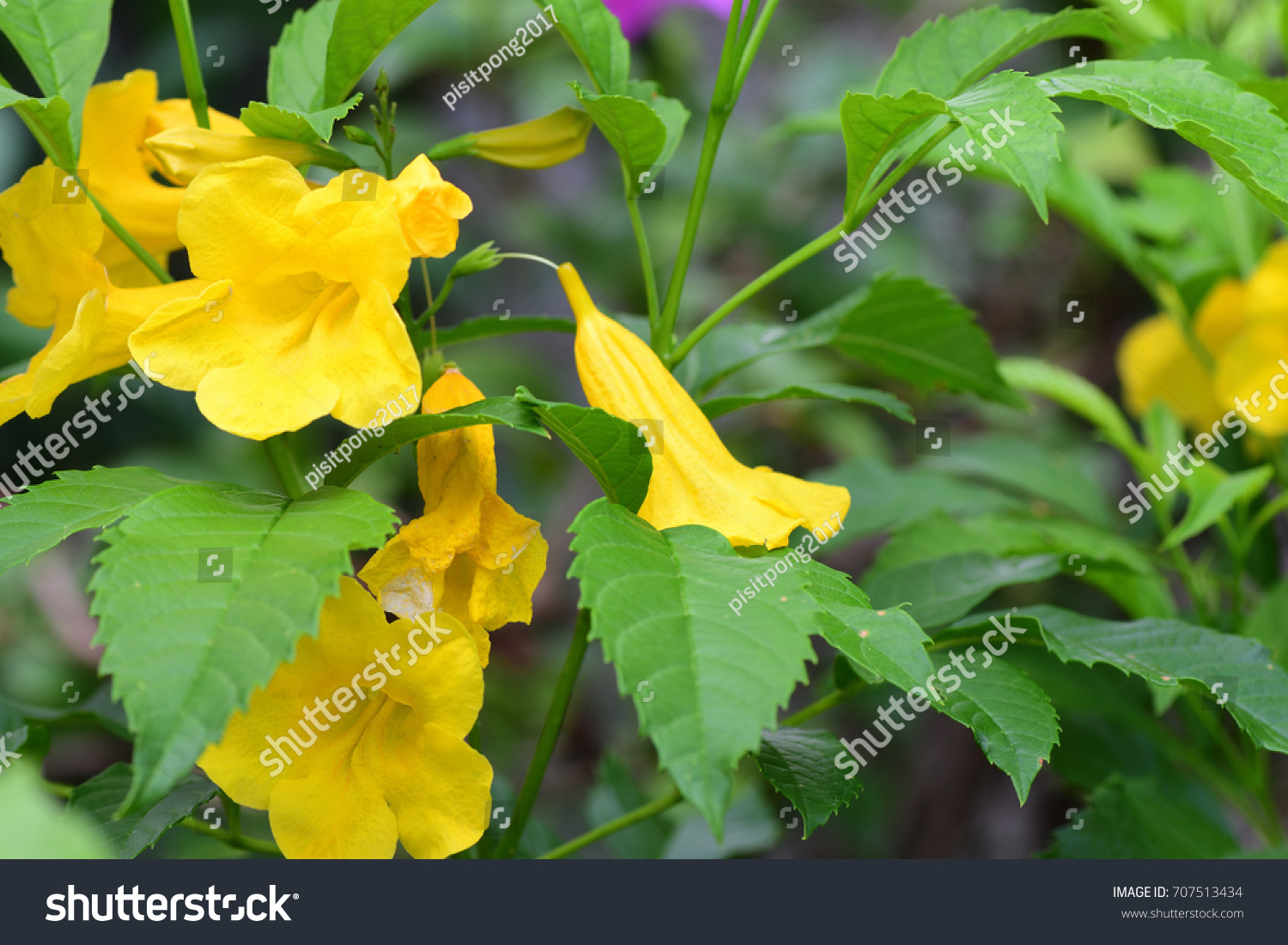 Tecoma Stans Yellow Bell Yellow Elder Trumpetbush Trumpetflower
