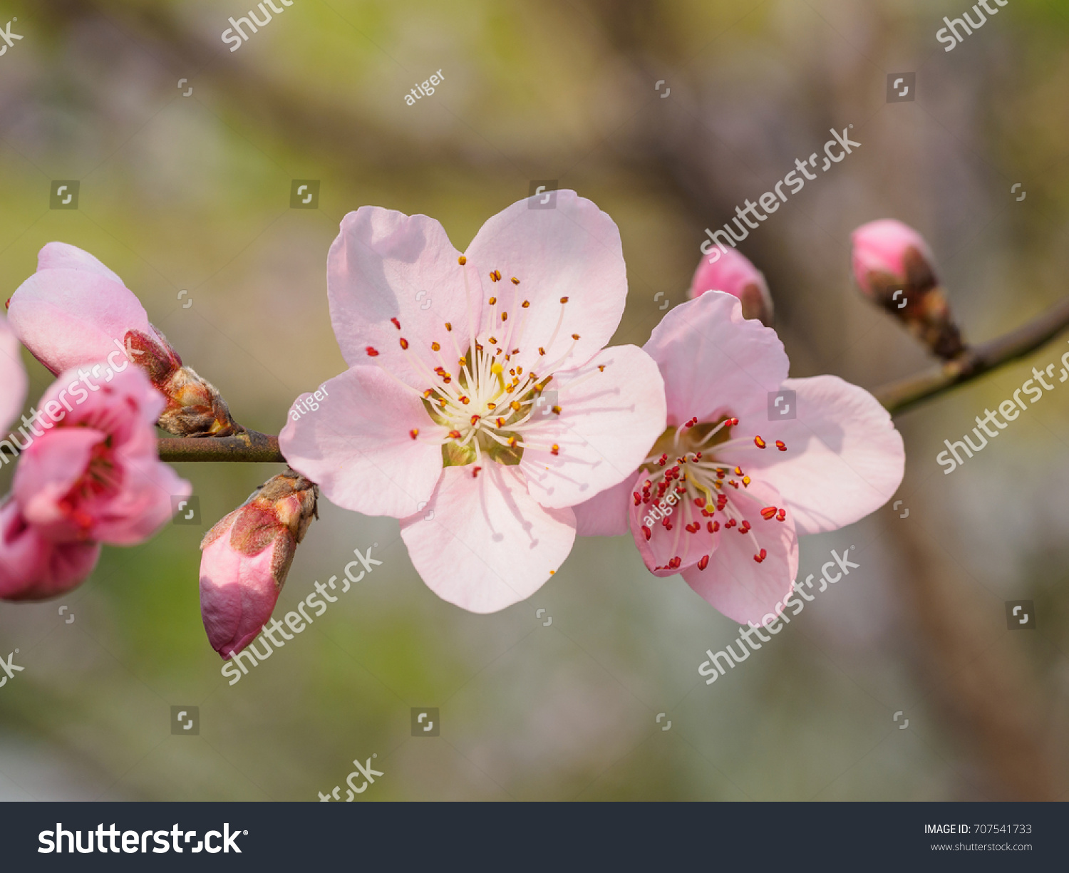 Spring Flowers Series Macro Of Beautiful Peach Blossoms With Nature Blurred Background Focused On
