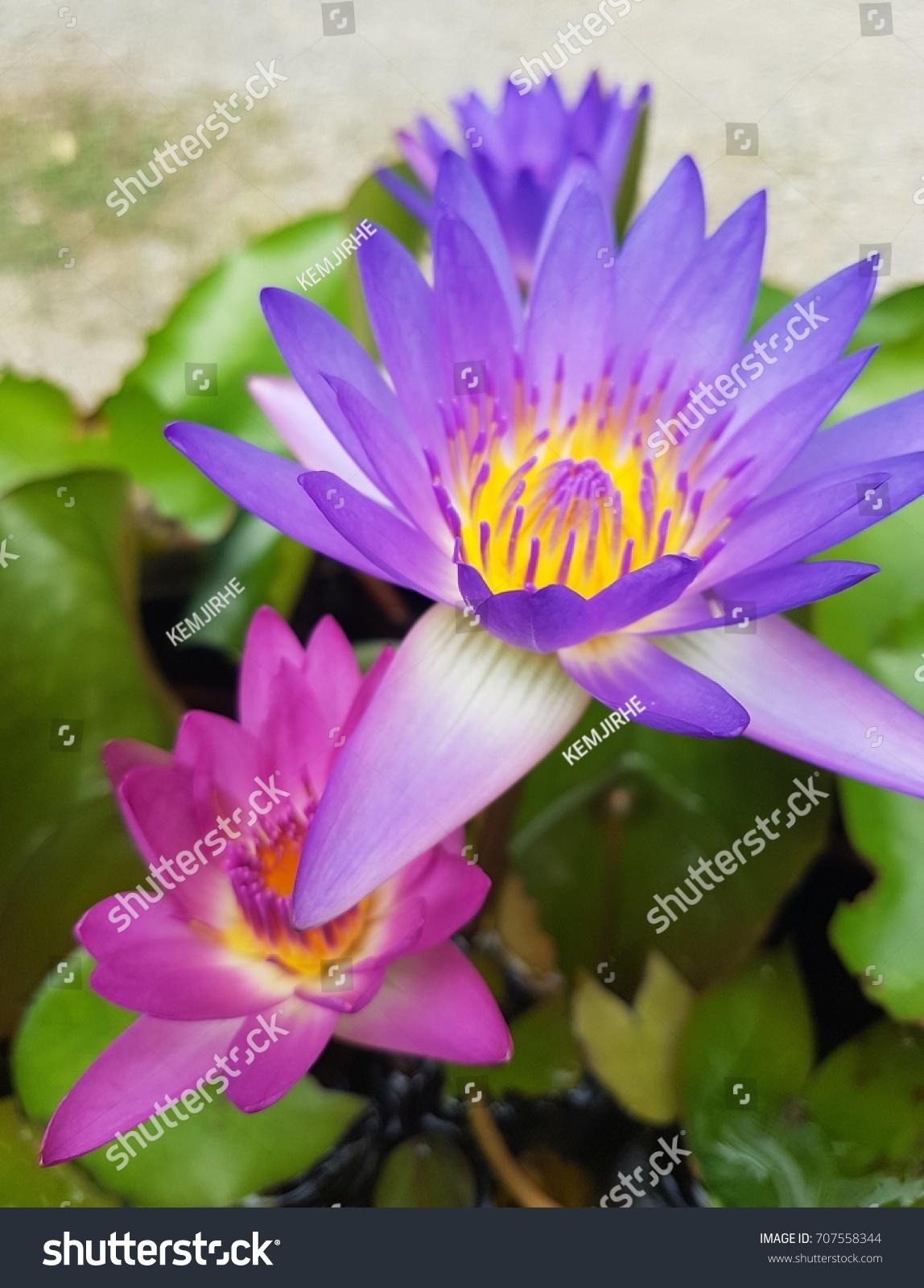 The Big Lotus Flower Ez Canvas