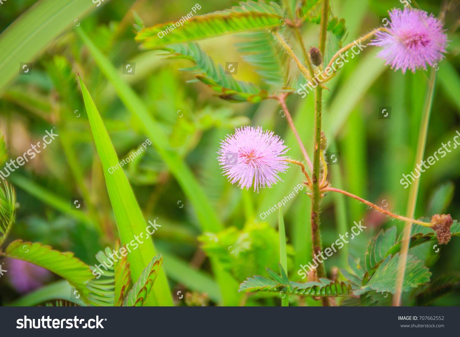 Blooming Mimosa Pudica Grass Flowers Creeping Stock Photo Edit Now