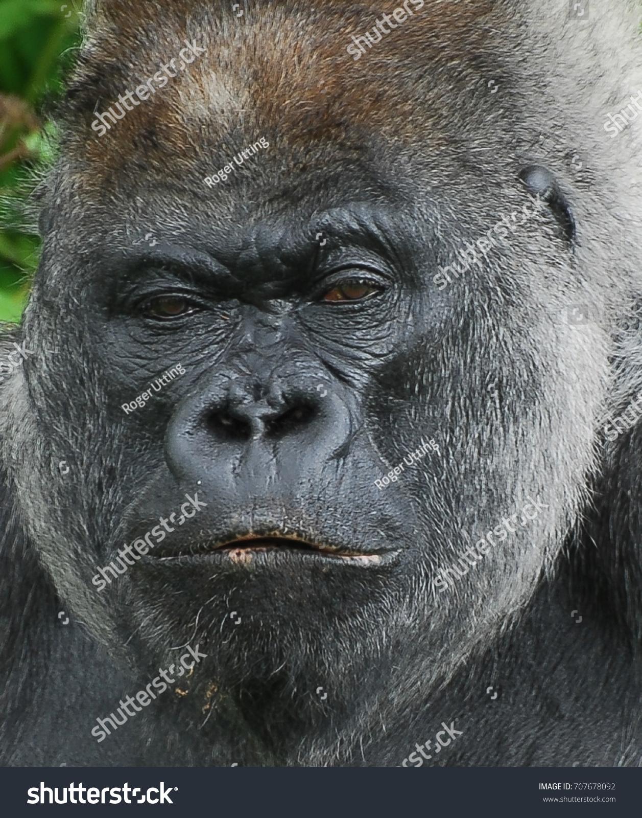 Gorilla staring at the camera