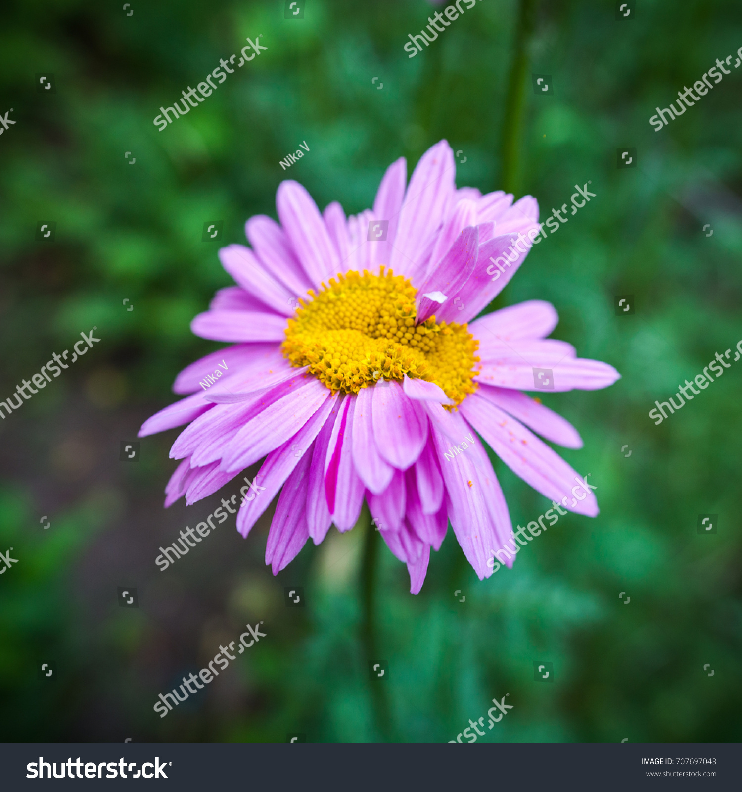 Abnormal Flower Double Headed Pink Daisy Stock Photo Edit Now