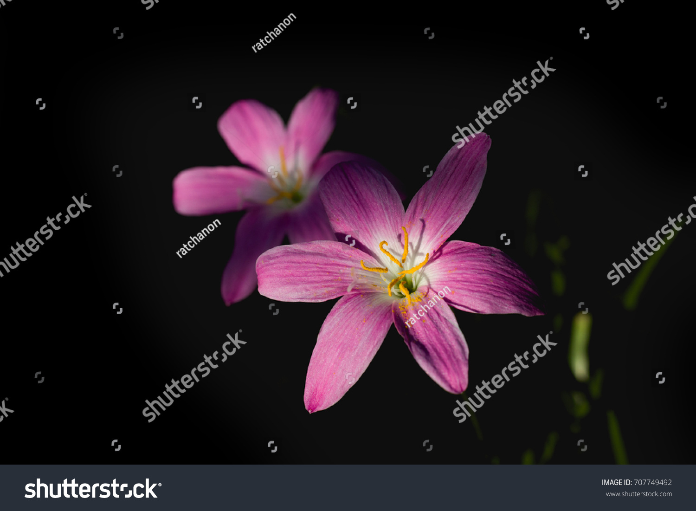 Pink Rain Lilies Flower Close Up Shot On Black Color Background