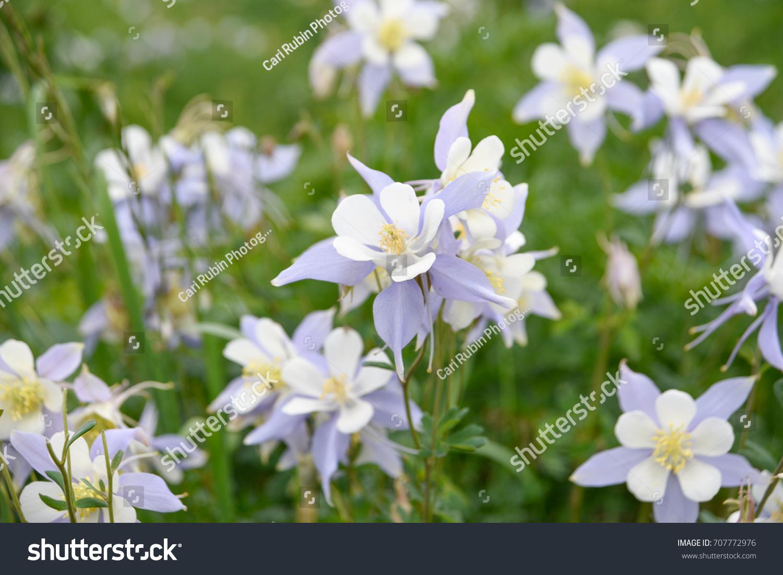 Purple Lavender White Columbine Flowers Field Stock Photo Edit Now
