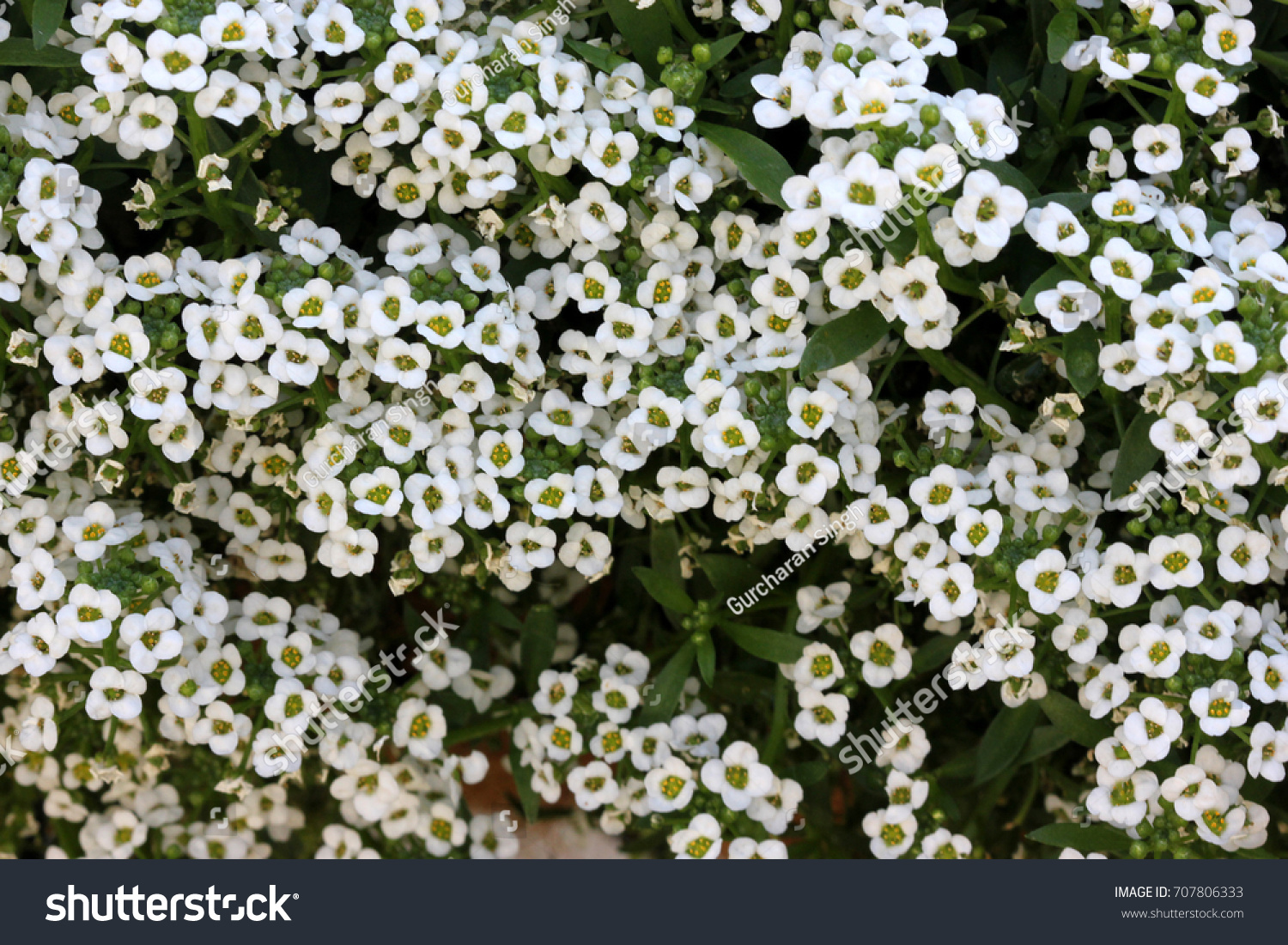 Lobularia maritima sweet alyssum sweet alison stock photo 707806333 lobularia maritima sweet alyssum sweet alison popular garden annual with small white flowers izmirmasajfo Images