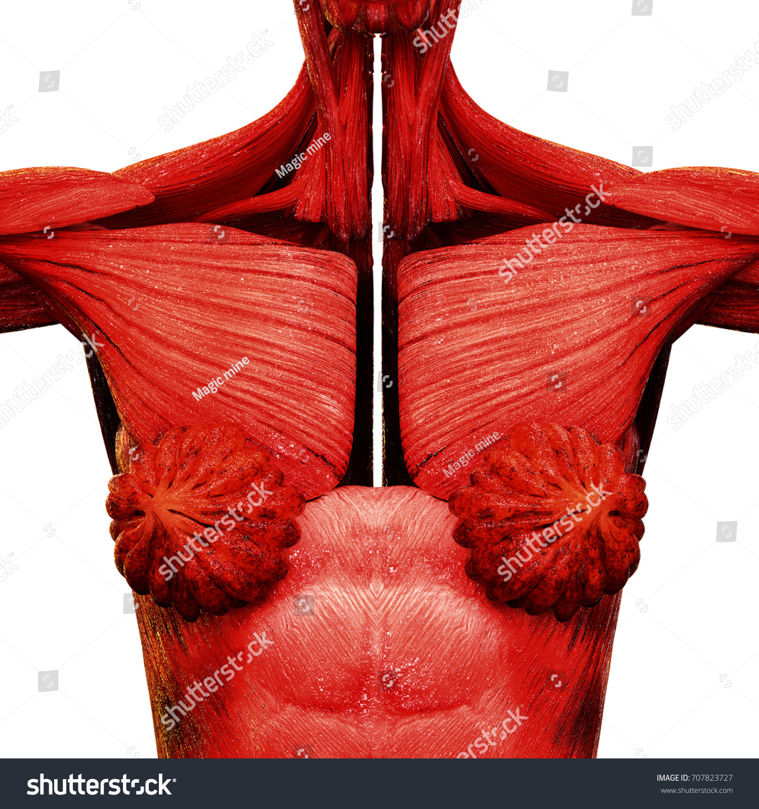 Human Female Body Organs Mammary Glands Stock Illustration 707823727