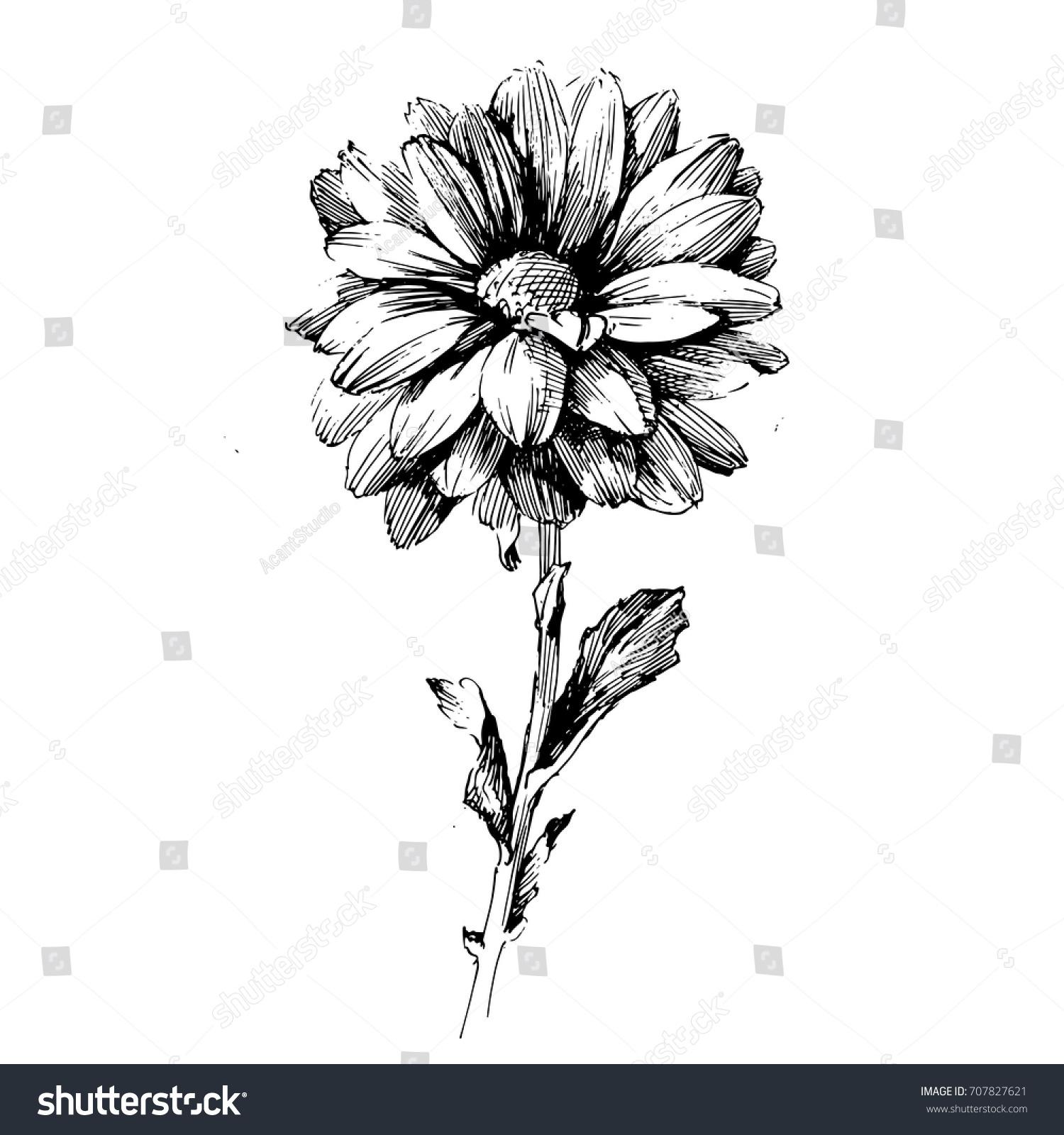 Chrysanthemum Flower Line Drawing : Chrysanthemum ink drawing flower vector illustration stock