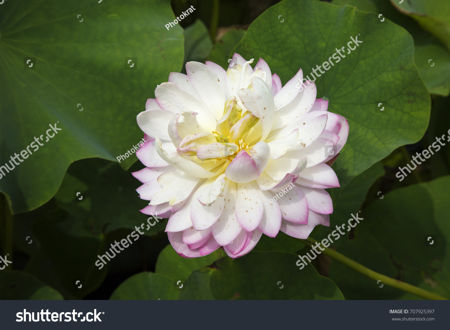 White purple edges lotus flower foreground stock photo royalty free white purple edges lotus flower foreground stock photo royalty free 707925397 shutterstock mightylinksfo