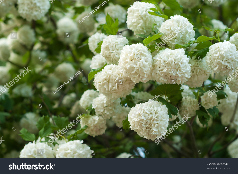 Chinese Snowball Viburnum Flower Heads Snowy Stock Photo Edit Now