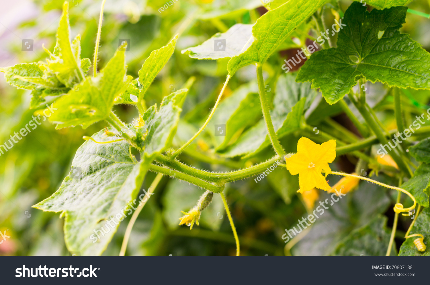 Cucumber Yellow Flowers Creeping Vines Green Stock Photo 100 Legal