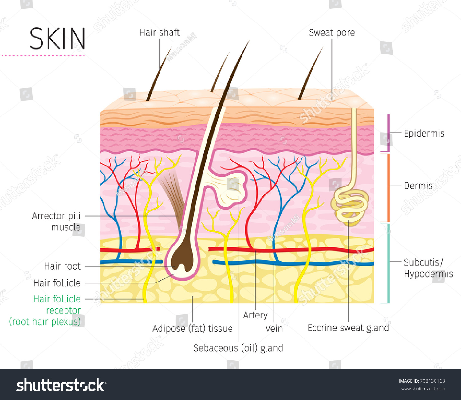 Human Anatomy Skin Hair Diagram Complexion Stock Vector 708130168 ...