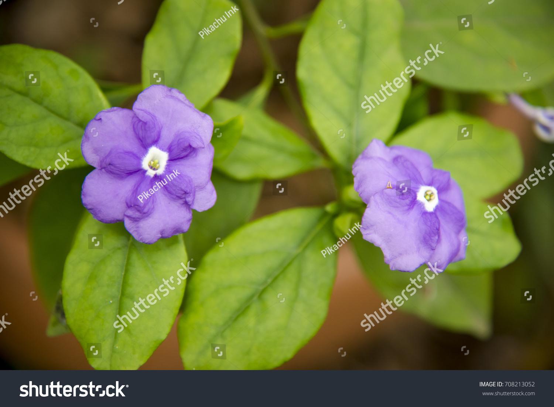 Violet jasmine flowers stock photo edit now 708213052 shutterstock violet jasmine flowers izmirmasajfo