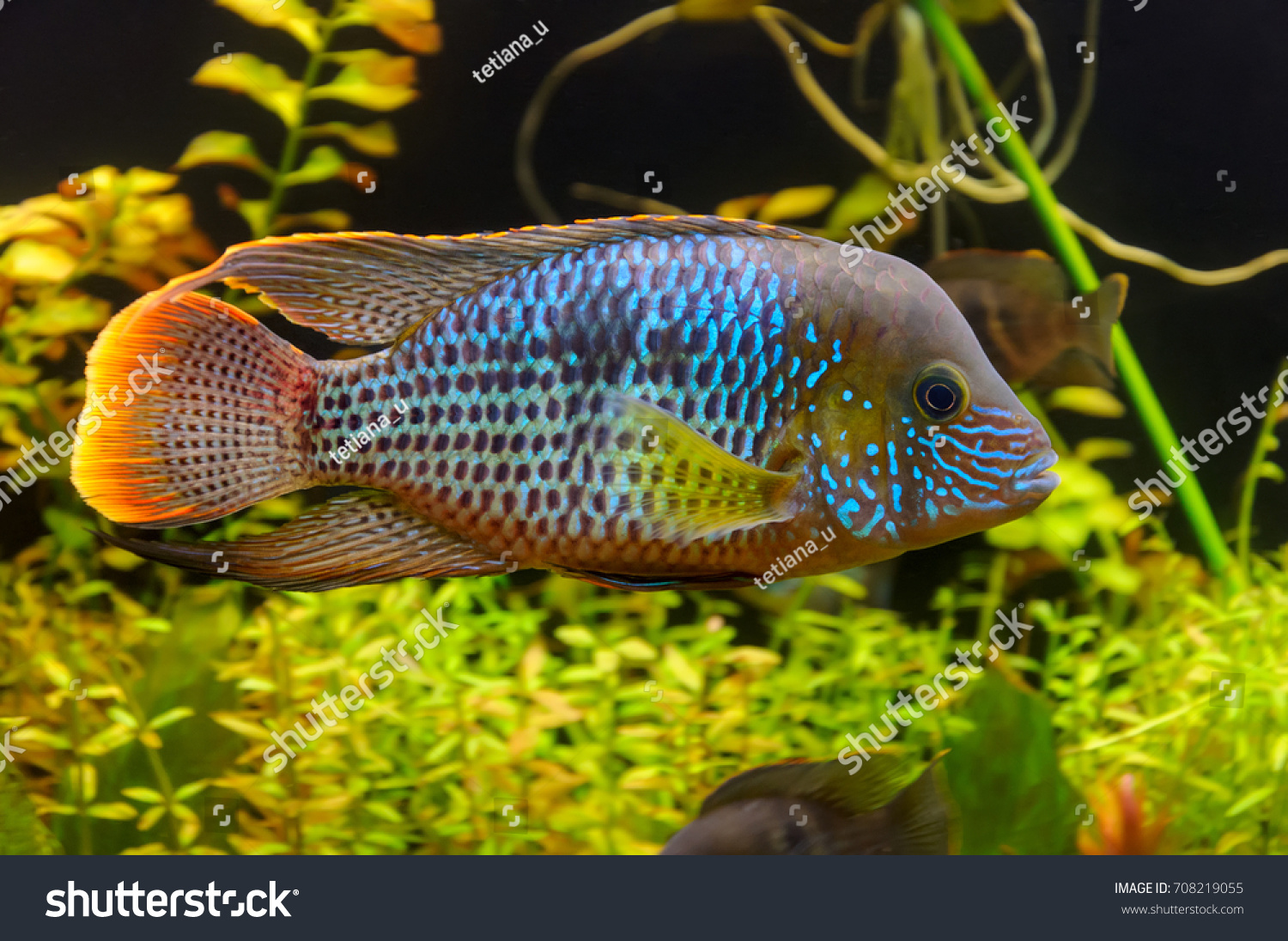 Green Terror Andinoacara Rivulatus Colorful Fish Stock Photo & Image ...