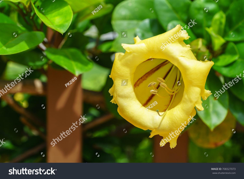 Beautiful Solandra Grandiflora Called Chalice Vine Stock Photo Edit