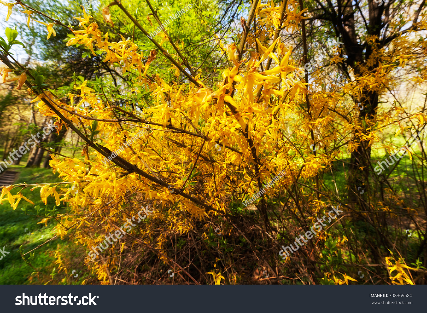 Bush With Small Yellow Flowers On A Branches Note Shallow Depth Of