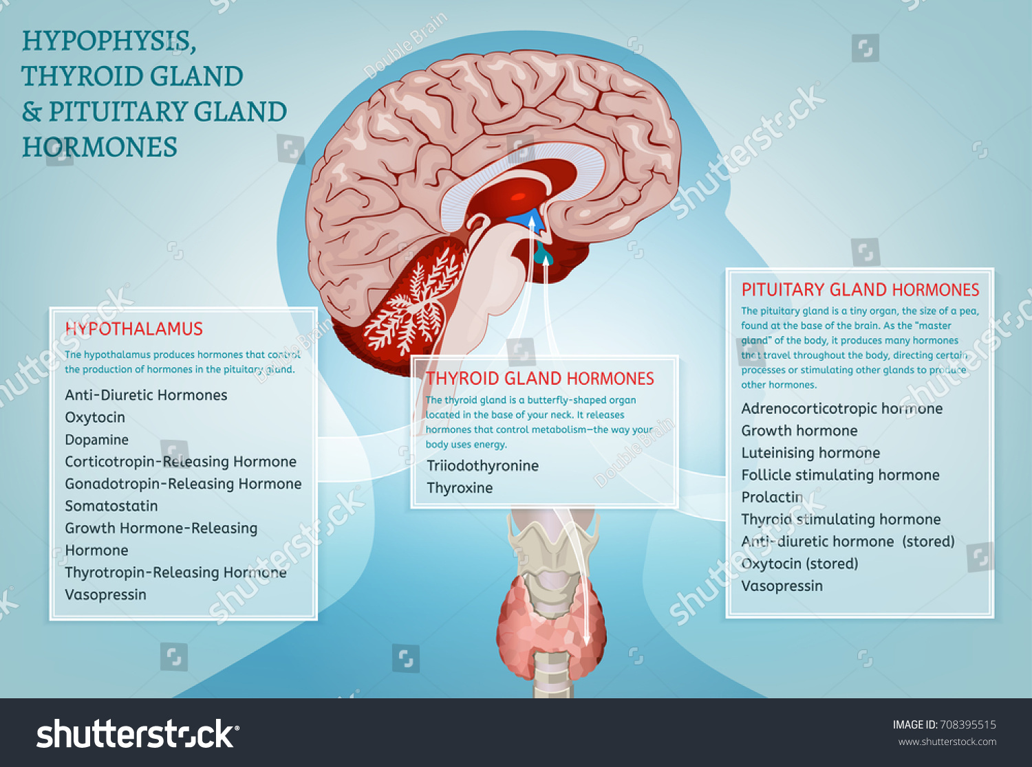 Hypophysis Pituitary Thyroid Gland Hormones Infographic Stock