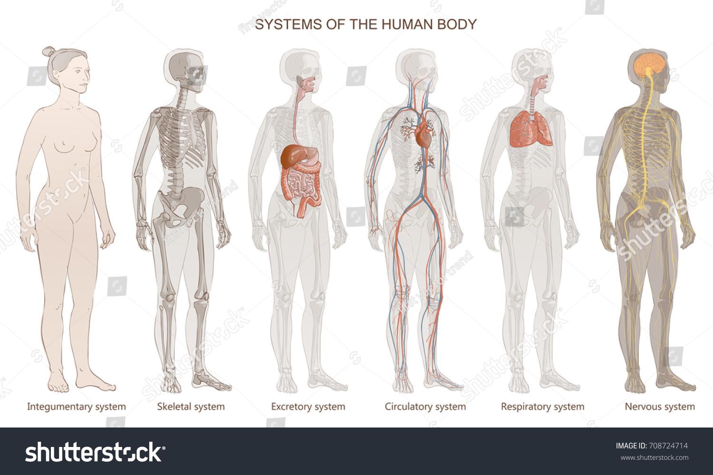Vector Illustration Human Body Systems Circulatory Stock