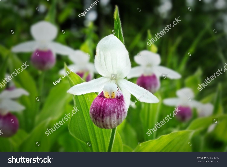 Showy Ladysslipper Cypripedium Reginae Aka Pinkandwhite Stock Photo