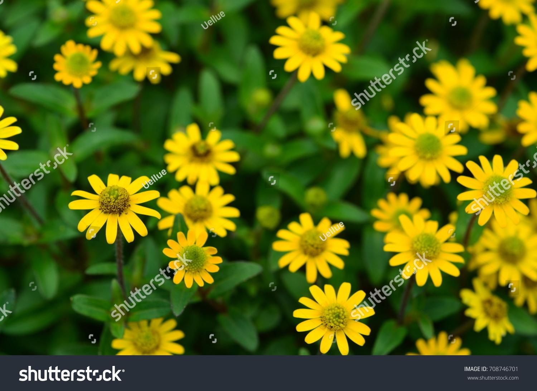 Tiny Yellow Flowers Stock Photo Royalty Free 708746701 Shutterstock