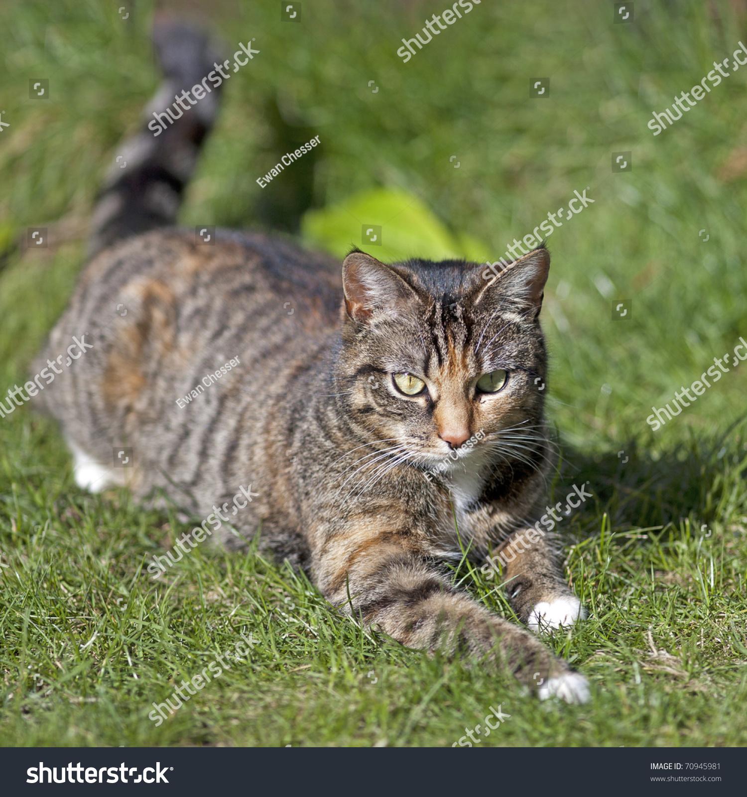 British Shorthair Tabby Cat Stock Shutterstock